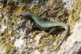 Іран знайшов ворожих ящірок-шпигунів